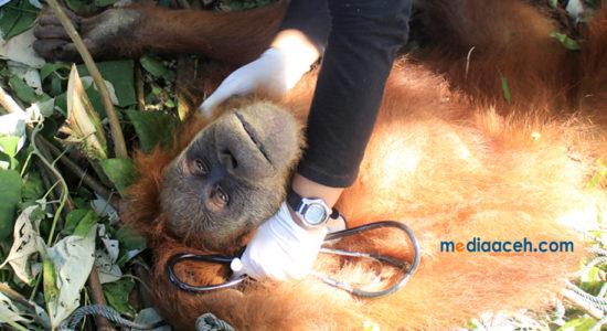 Evakuasi Orangutan