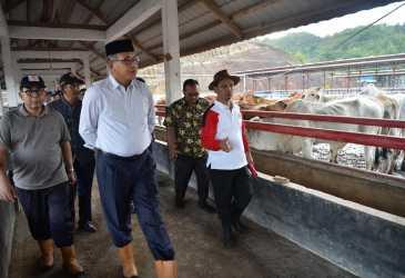 Plt Gubernur Tinjau Peternakan Sapi di Ie Suum