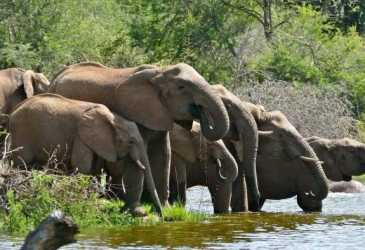 Seorang Warga Pingsan Ditabrak Gajah Liar di Bener Meriah