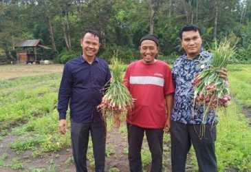 Petani di Aceh Tamiang Berhasil Kembangkan Bawang tanpa Pupuk, Begini Hasilnya
