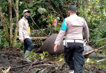 Gajah Betina Ditemukan Mati di Bener Meriah