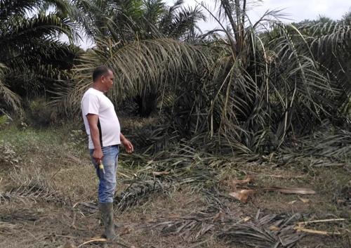 Puluhan Ekor Gajah Liar Obrak Abrik Kebun Warga