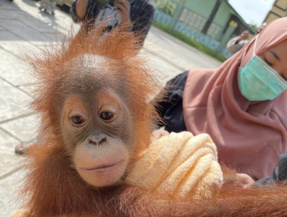 Polda Aceh Tetapkan Dua Tersangka Penjualan Orang Utan